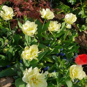 Farmer Gracy Flower Bulbs 5 star review on 20th April 2020