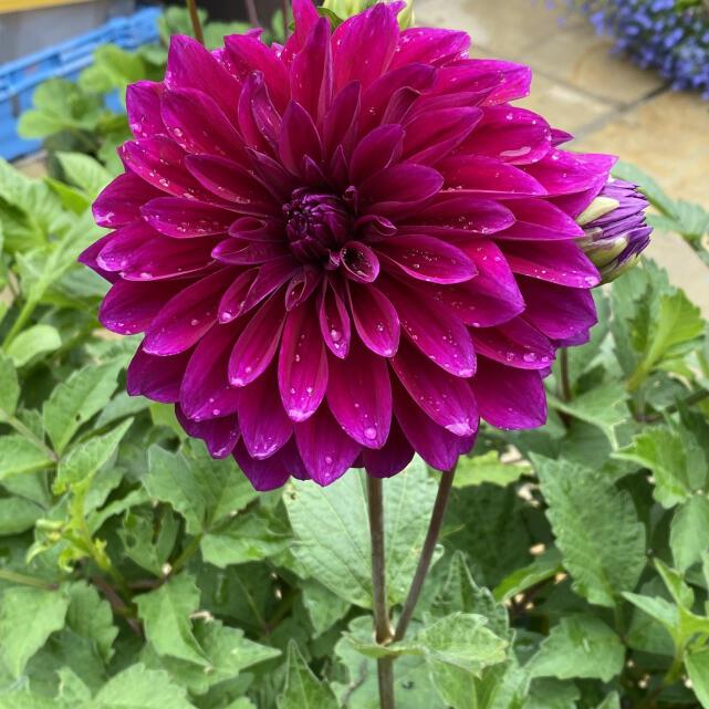 Farmer Gracy Flower Bulbs 4 star review on 11th July 2021